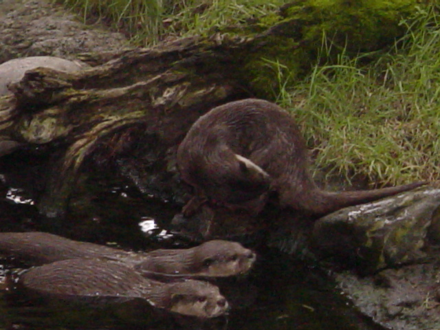 Have You Seen the Asian Otters at Disney's Animal Kingdom?