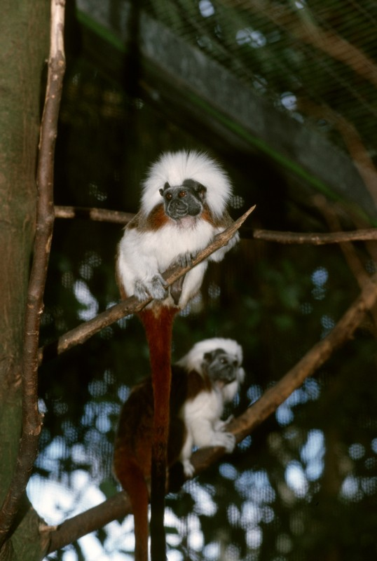 Cotton top tamarin disney animal kingdom