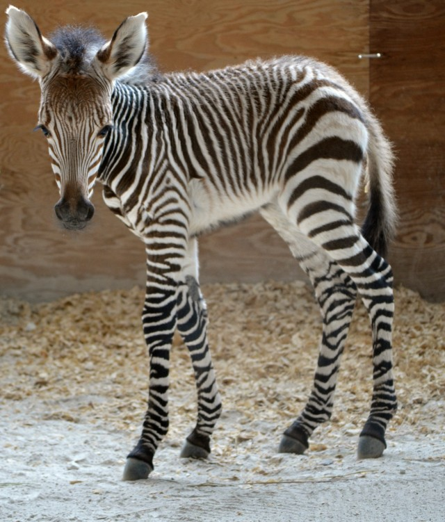 Your Daily Dose of Disney Cute – Animal Kingdom Lodge Welcomes Baby Zebra