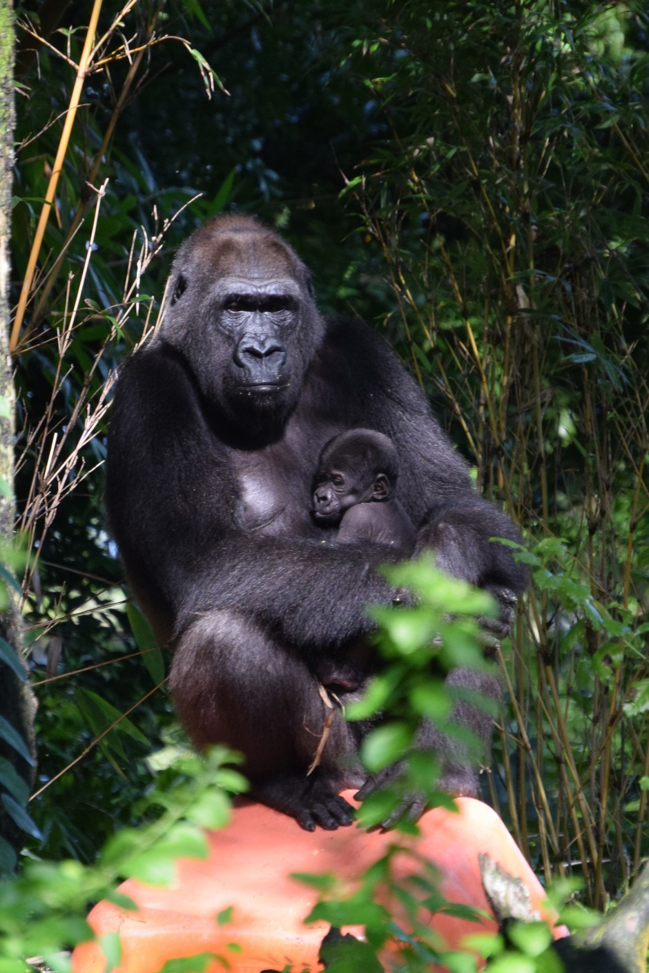 Family Photo: Second Baby in Month Born to Endangered Gorilla Family at Disney's Animal Kingdom